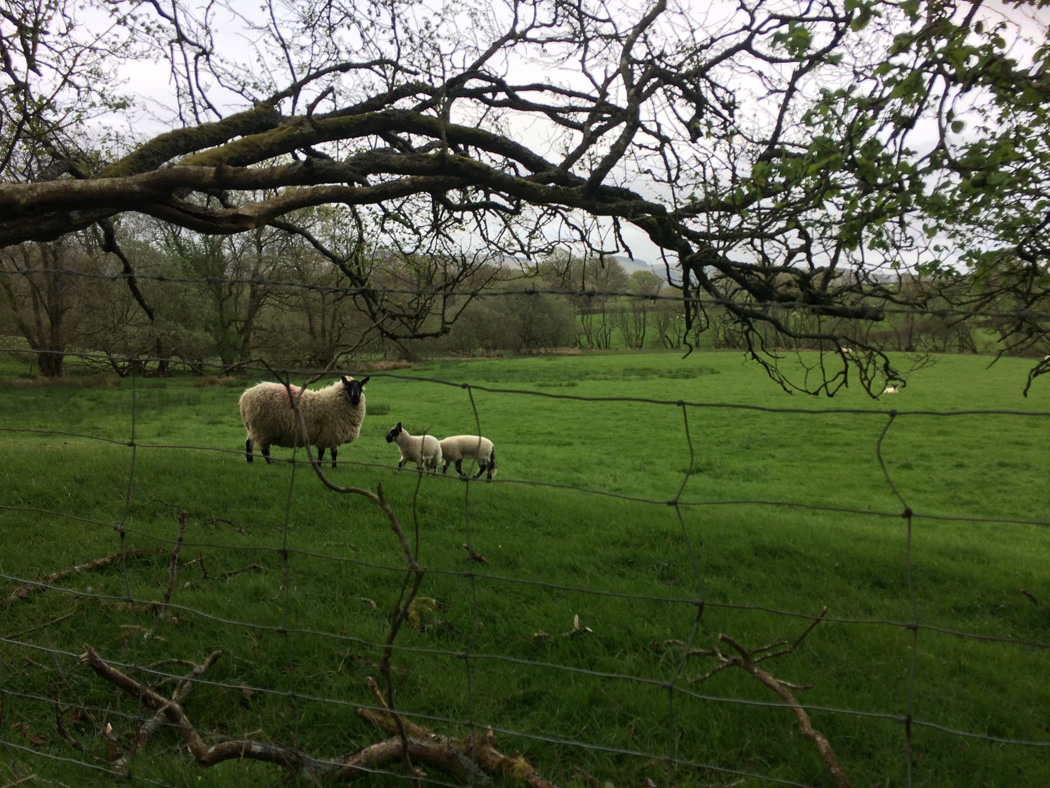 Looking through a fence to a sheep and two lambs in a field