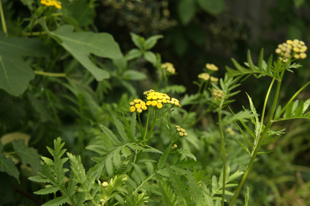 Some yellow tansy flower heads growing amongst mixed foliage