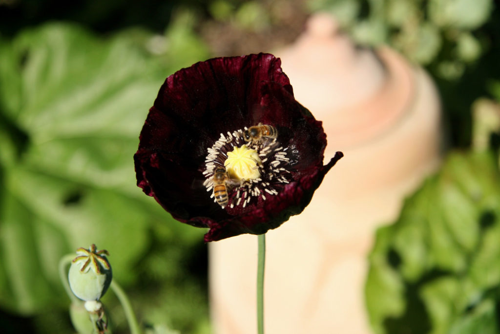 A very dark black red, single poppy with two bees foraging for pollen.