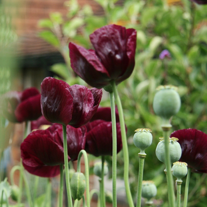 Dark red single poppies and seed heads growing in a garden
