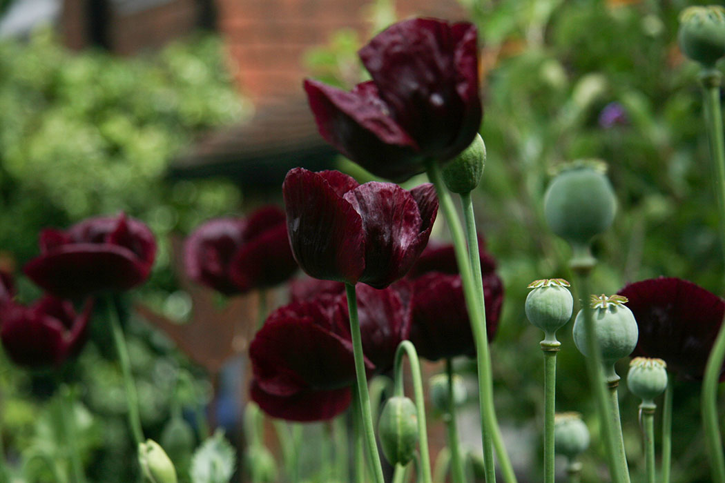 A view of dark purple poppies and their seed heads